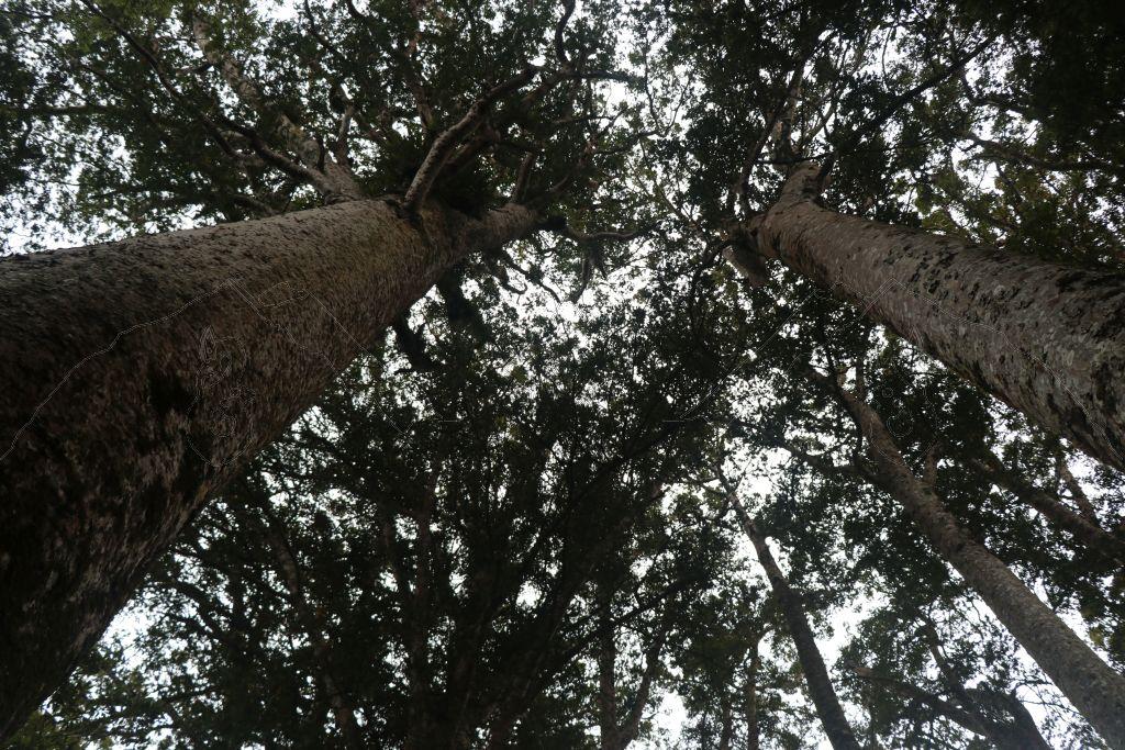 Die Kauris vom Manginangina Kauri Walk