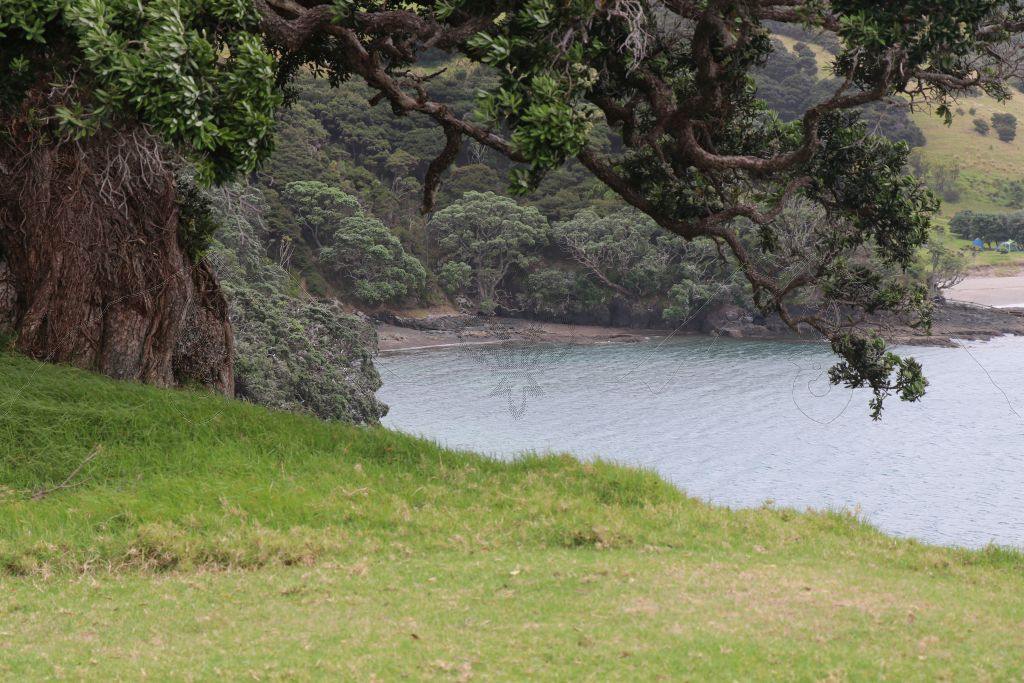 Der alte Pohutukawa thront über der Bucht