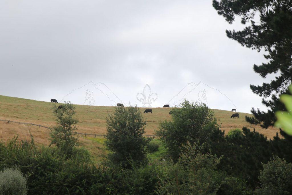 Nicht immer nur im Hintergrund - die Rinder sind an den Trubel gewöhnt.