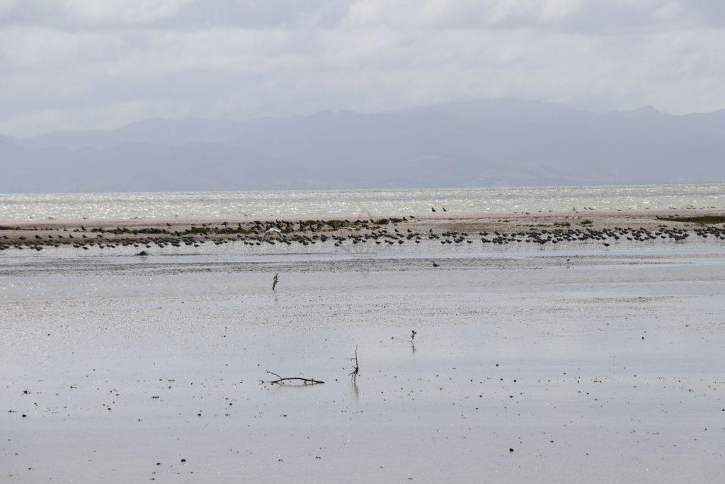 Möven, Austernfischer, Schnepfen, Strandläufer, …