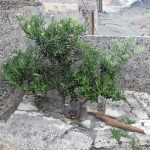 Pohutukawa - erstes Grün in den Ruinen.