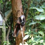 Der Waldpapagei (Kaka) – ein Verwandter des bekannteren Bergpapageis (Kea) – beides Nestorpapageien.