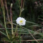 Mount-Cook-Lilie